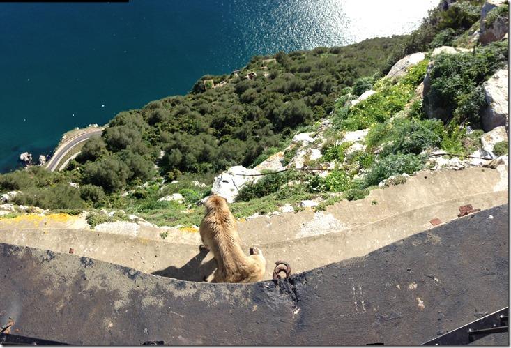 Barbary ape looks over the Gibraltar cliffs