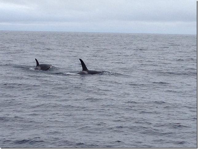orca pod wild