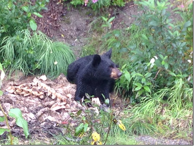 little black bear eating