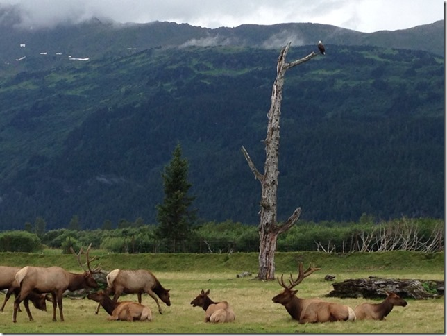 Eagle watching over the elk herd