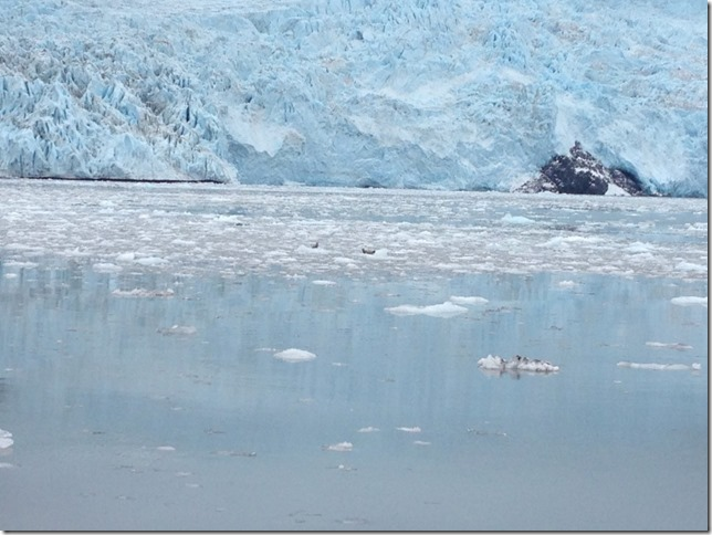 calving glacier with baby seals