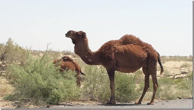 Turkmenistan Wild Camel