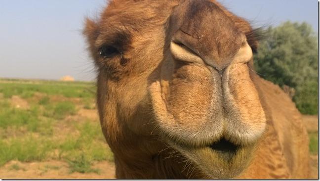 Kissy Camel lips