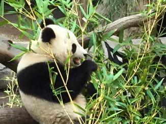 Baby Panda San Diego
