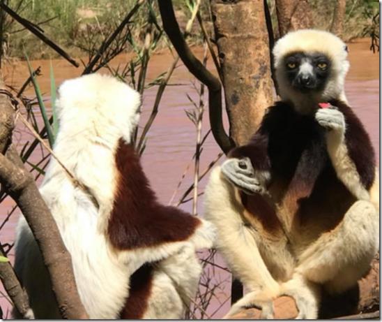 coquerels sifaka lemur