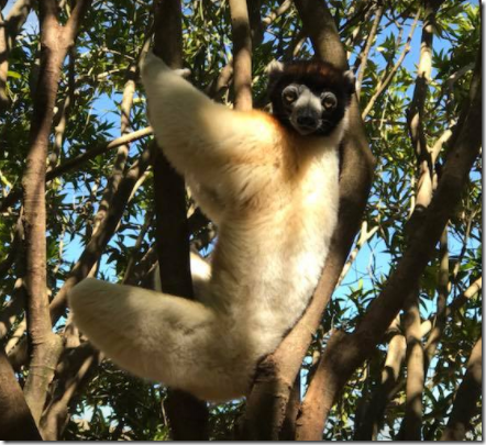 White Sifika Lemur