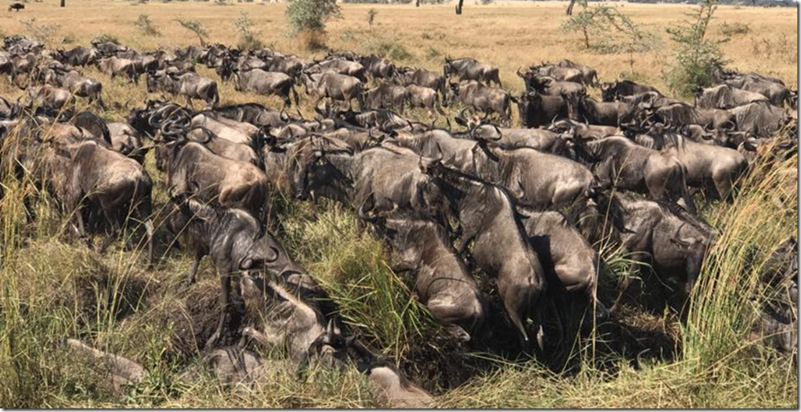 Wildebeest the great migration