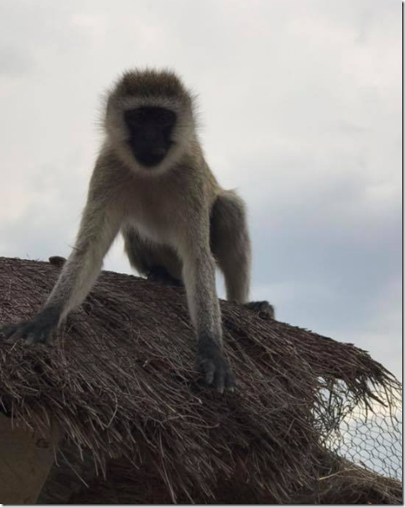 monkey on roof
